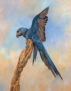 Macaw Art Paintings - Hayacinth Macaw by David Stribbling