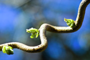 Sprouts Posters - Hazelnut branch about to bud Poster by Heiko Koehrer-Wagner