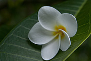 Flowers Greeting Cards Posters - He Aloha no O Waianapanapa - White Tropical Plumeria - Maui Hawaii Poster by Sharon Mau
