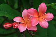 Beautiful Flowering Trees Posters - He pua laha ole Hau oli Hau oli oli Pua Melia hae Maui Hawaii Tropical Plumeria Poster by Sharon Mau