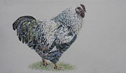 Prismacolor Colored Pencil Drawings Prints - Head Honcho of the Hen House Print by Sari Sauls