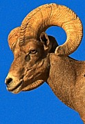 Big Horn Sheep Photos - Head Of A Big Horn by Adam Jewell