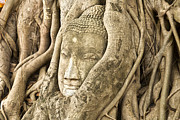 Tree Roots Posters - Head of Buddha Ayutthaya Thailand Poster by Colin and Linda McKie
