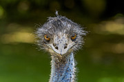 Patricia Hofmeester - Head of ostrich