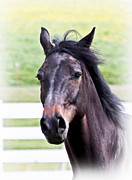 Friesian Posters - Head Shot Poster by Athena Mckinzie