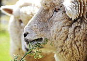 Portraits Framed Prints - Head shot of sheep Framed Print by Judith Katz