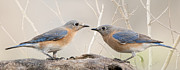 Bluebirds Prints - Head to head confrontation Print by Bonnie Barry