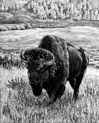 American Bison Drawings Prints - Heading Home Print by Lori Discoe