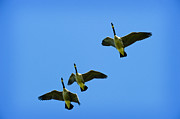 Flying Geese Prints - Heading North Print by Jim  Calarese