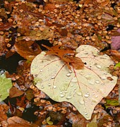 Anita Adams - Heart Leaf II