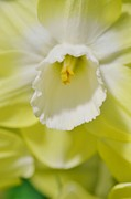 Struckle Framed Prints - Heart Of A Daffodil Framed Print by Kathleen Struckle