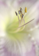 Lensbaby Close-up Posters - Heart of a Day Lily Poster by David and Carol Kelly