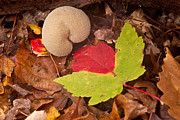 Fungi Metal Prints - Heart of a Puffball 2 Metal Print by Douglas Barnett