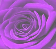 Purple Heart Painting Posters - Heart Of A Purple Rose Poster by SophiaArt Gallery