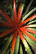 Bromeliad Framed Prints - Heart of flame Framed Print by Juan  Silva