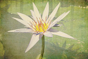 Waterlilies Art - Heart of Gold by Linda Lees