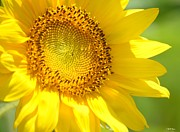 The Nature Center Prints - Heart of the Sunflower Print by Maria Urso