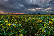 Soybean Prints - Heartland Sunset Print by Aaron J Groen
