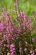 Nederland Photo Prints - Heather Print by Carol Groenen