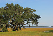 Live Oak Tree Prints - Heaven is a Beautiful Place Print by Suzanne Gaff