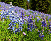 Lupins Prints - Heavenly Blue Lupins Print by Theresa Tahara
