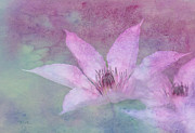 Clematis Framed Prints - Heavenly Petals Framed Print by Betty LaRue