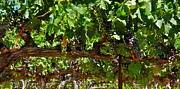 Grape Leaves Photos - Heavy Grape Clusters on the Vine by Kirsten Giving