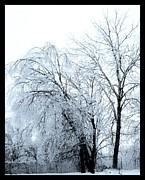 Heavy Ice Tree Redo Print by Marsha Heiken