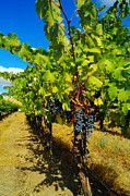 Wine Making Metal Prints - Heavy On The Vine At The High Tower Winery  Metal Print by Jeff  Swan