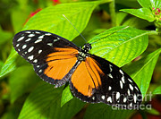 Orange And Black Butterfly Posters - Hecale Butterfly Poster by Millard H. Sharp