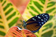 Hecale Longwing Butterfly Print by Cheryl Cencich