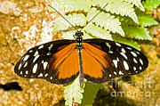 Orange And Black Butterfly Posters - Hecale Longwing Butterfly Heliconius Poster by Millard H. Sharp
