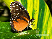 Orange And Black Butterfly Posters - Hecale Longwing Butterfly Poster by Millard H. Sharp