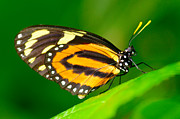 Vivid Photos - Hecales Longwing by Floyd Menezes