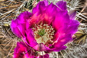 Fushia Photos - Hedgechog Cactus by Tracey Hunnewell