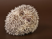 Spine Pyrography - Hedgehog ball by Andrea Kornfeld