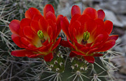 Hedgehog Cactus Prints - Hedgehog Blossoms  Print by Saija  Lehtonen