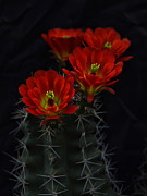 Hedgehog Cactus Prints - Hedgehog Cactus Bouquet  Print by Saija  Lehtonen