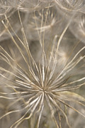 Seedhead Framed Prints - Held in Place Framed Print by Anne Gilbert