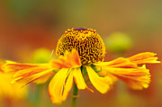 Charming Cottage Prints - Helenium Sunshine Print by Sarah-fiona  Helme