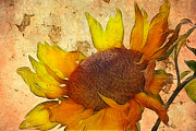Macro Digital Art Framed Prints - Helianthus Framed Print by John Edwards