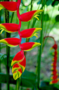 Mexican Flowers Framed Prints - Heliconia--Flower in Chiapas Framed Print by Matthew Bamberg