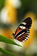 Neotropical Framed Prints - Heliconius Framed Print by Cindi Ressler