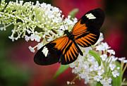 Saija  Lehtonen - HeliconiusMelpomene - Common Postman Butterfly