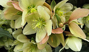 Patricia Januszkiewicz - Hellebores