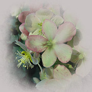 Gardening Photography Digital Art Posters - Hellebores1 Poster by Jeff Burgess