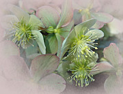 Fusion Digital Art Framed Prints - Hellebores3 Framed Print by Jeff Burgess