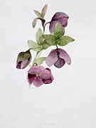 Botanical Paintings - Helleborus atrorubens by Sarah Creswell