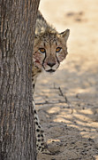 Acinonyx Jubatus Photos - Hello Cheetah by Andy-Kim Moeller