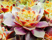 Floral Photographs Photos - Hens and Chicks Series - Early Morning Quite by Moon Stumpp